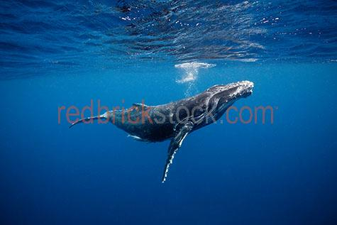 whale;whales;humpback whale;humpback whales;humpback;humpbacks;underwater;under water;animal;animals;sea animal;sea animals;sea creature;sea creatures;creature;creatures;swim;swims;swimming;maritime;marine;ocean;oceans;ocean water;ocean waters;sea;seas;sea water;sea waters;water;waters;blue water;waters surface;below the surface;marine life;sea life;sealife;aquatic;nature;natural habitat;natural habitats;wildlife;wild life;seascape;seascapes;mammal;mammals;portrait;portraits;portraiture;animal portrait;animal portraits;whale portrait;whale portraits;humpback whale portrait;humpback whale portraits;sunlight;sun light;underwater photography;under water photography;wildlife photography;wild life photography;snorkel;snorkels;snorkeling;snorkelling;snorkeling with whales;snorkelling with whales;snorkeling with humpback whales;snorkelling with humpback whales;snorkeling with animals;snorkelling with animals;scuba dive;scuba dives;scuba diving;scuba diving with whales;scuba diving with humpback whales;dive;dives;diving;tourist attraction;tourist attractions;endangered species;endangered animals;threatened species;threatened animals;explore;explores;exploring;exploration;exploring underwater;exploring under water;kingdom of tonga;tonga;megaptera novaeangliae;megaptera;prtoect;protects;protecting;protection;calf;calves;baby;babies;baby whale;baby whales;baby animal;baby animals;child;children;breed;breeds;breeding;breeding season;whale breeding;whale breeding season;blue;blues;colour blue;color blue;fish;fishes;bubble;bubbles;close-up;close-ups;close up;close ups;closeup;closeups;close-up view;close-up views;closeup view;closeup views;close-up views;close-up views;close up views;closeup views;copyspace;copy space;textspace;text space