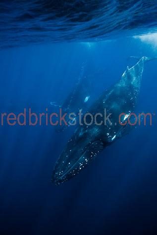 whale;whales;humpback whale;humpback whales;humpback;humpbacks;underwater;under water;animal;animals;sea animal;sea animals;sea creature;sea creatures;creature;creatures;swim;swims;swimming;maritime;marine;ocean;oceans;ocean water;ocean waters;sea;seas;sea water;sea waters;water;waters;blue water;waters surface;below the surface;marine life;sea life;sealife;aquatic;nature;natural habitat;natural habitats;wildlife;wild life;seascape;seascapes;mammal;mammals;portrait;portraits;portraiture;animal portrait;animal portraits;whale portrait;whale portraits;humpback whale portrait;humpback whale portraits;sunlight;sun light;sunray;sunrays;sun ray;sun rays;ray of light;rays of light;sunbeam;sunbeams;sun beam;sun beams;underwater photography;under water photography;wildlife photography;wild life photography;snorkel;snorkels;snorkeling;snorkelling;snorkeling with whales;snorkelling with whales;snorkeling with humpback whales;snorkelling with humpback whales;snorkeling with animals;snorkelling with animals;scuba dive;scuba dives;scuba diving;scuba diving with whales;scuba diving with humpback whales;dive;dives;diving;tourist attraction;tourist attractions;endangered species;endangered animals;threatened species;threatened animals;explore;explores;exploring;exploration;exploring underwater;exploring under water;kingdom of tonga;tonga;megaptera novaeangliae;megaptera;protect;protects;protecting;protection;calf;calves;baby;babies;baby whale;baby whales;baby animal;baby animals;mother and child;mother & child;mother;mothers;mum;mums;mom;moms;motherhood;parent;parents;parenting;parenthood;child;children;breed;breeds;breeding;breeding season;whale breeding;whale breeding season;intimate;intimacy;blue;blues;colour blue;color blue;close-up;close-ups;close up;close ups;closeup;closeups;close-up view;close-up views;closeup view;closeup views;close-up views;close-up views;close up views;closeup views;copyspace;copy space;textspace;text space