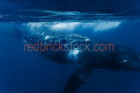 whale;whales;humpback whale;humpback whales;humpback;humpbacks;underwater;under water;animal;animals;sea animal;sea animals;sea creature;sea creatures;creature;creatures;swim;swims;swimming;maritime;marine;ocean;oceans;ocean water;ocean waters;sea;seas;sea water;sea waters;water;waters;blue water;waters surface;below the surface;marine life;sea life;sealife;aquatic;nature;natural habitat;natural habitats;wildlife;wild life;seascape;seascapes;mammal;mammals;portrait;portraits;portraiture;animal portrait;animal portraits;whale portrait;whale portraits;humpback whale portrait;humpback whale portraits;sunlight;sun light;underwater photography;under water photography;wildlife photography;wild life photography;snorkel;snorkels;snorkeling;snorkelling;snorkeling with whales;snorkelling with whales;snorkeling with humpback whales;snorkelling with humpback whales;snorkeling with animals;snorkelling with animals;scuba dive;scuba dives;scuba diving;scuba diving with whales;scuba diving with humpback whales;dive;dives;diving;tourist attraction;tourist attractions;endangered species;endangered animals;threatened species;threatened animals;explore;explores;exploring;exploration;exploring underwater;exploring under water;kingdom of tonga;tonga;megaptera novaeangliae;megaptera;protect;protects;protecting;protection;calf;calves;baby;babies;baby whale;baby whales;baby animal;baby animals;mother and child;mother & child;mother;mothers;mum;mums;mom;moms;motherhood;parent;parents;parenting;parenthood;child;children;breed;breeds;breeding;breeding season;whale breeding;whale breeding season;intimate;intimacy;blue;blues;colour blue;color blue;reflection;reflections;water reflection;water reflections;close-up;close-ups;close up;close ups;closeup;closeups;close-up view;close-up views;closeup view;closeup views;close-up views;close-up views;close up views;closeup views;copyspace;copy space;textspace;text space