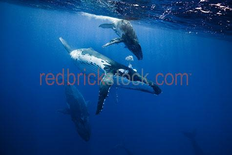 whale;whales;humpback whale;humpback whales;humpback;humpbacks;underwater;under water;animal;animals;sea animal;sea animals;sea creature;sea creatures;creature;creatures;swim;swims;swimming;maritime;marine;ocean;oceans;ocean water;ocean waters;sea;seas;sea water;sea waters;water;waters;blue water;waters surface;below the surface;marine life;sea life;sealife;aquatic;nature;natural habitat;natural habitats;wildlife;wild life;seascape;seascapes;mammal;mammals;portrait;portraits;portraiture;animal portrait;animal portraits;whale portrait;whale portraits;humpback whale portrait;humpback whale portraits;sunlight;sun light;sunray;sunrays;sun ray;sun rays;ray of light;rays of light;sunbeam;sunbeams;sun beam;sun beams;underwater photography;under water photography;wildlife photography;wild life photography;snorkel;snorkels;snorkeling;snorkelling;snorkeling with whales;snorkelling with whales;snorkeling with humpback whales;snorkelling with humpback whales;snorkeling with animals;snorkelling with animals;scuba dive;scuba dives;scuba diving;scuba diving with whales;scuba diving with humpback whales;dive;dives;diving;tourist attraction;tourist attractions;endangered species;endangered animals;threatened species;threatened animals;explore;explores;exploring;exploration;exploring underwater;exploring under water;kingdom of tonga;tonga;megaptera novaeangliae;megaptera;protect;protects;protecting;protection;calf;calves;baby;babies;baby whale;baby whales;baby animal;baby animals;mother and child;mother & child;mother;mothers;mum;mums;mom;moms;motherhood;parent;parents;parenting;parenthood;child;children;breed;breeds;breeding;breeding season;whale breeding;whale breeding season;intimate;intimacy;reflection;reflections;water reflection;water reflections;bubble;bubbles;air hole;air holes;airhole;airholes;blue;blues;colour blue;color blue;play;plays;playing;playful;close-up;close-ups;close up;close ups;closeup;closeups;close-up view;close-up views;closeup view;closeup views;close-up vie