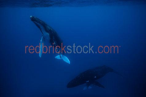 whale;whales;humpback whale;humpback whales;humpback;humpbacks;underwater;under water;animal;animals;sea animal;sea animals;sea creature;sea creatures;creature;creatures;swim;swims;swimming;maritime;marine;ocean;oceans;ocean water;ocean waters;sea;seas;sea water;sea waters;water;waters;blue water;waters surface;below the surface;marine life;sea life;sealife;aquatic;nature;natural habitat;natural habitats;wildlife;wild life;seascape;seascapes;mammal;mammals;portrait;portraits;portraiture;animal portrait;animal portraits;whale portrait;whale portraits;humpback whale portrait;humpback whale portraits;underwater photography;under water photography;wildlife photography;wild life photography;snorkel;snorkels;snorkeling;snorkelling;snorkeling with whales;snorkelling with whales;snorkeling with humpback whales;snorkelling with humpback whales;snorkeling with animals;snorkelling with animals;scuba dive;scuba dives;scuba diving;scuba diving with whales;scuba diving with humpback whales;dive;dives;diving;tourist attraction;tourist attractions;endangered species;endangered animals;threatened species;threatened animals;explore;explores;exploring;exploration;exploring underwater;exploring under water;kingdom of tonga;tonga;megaptera novaeangliae;megaptera;protect;protects;protecting;protection;calf;calves;baby;babies;baby whale;baby whales;baby animal;baby animals;mother and child;mother & child;mother;mothers;mum;mums;mom;moms;motherhood;parent;parents;parenting;parenthood;child;children;breed;breeds;breeding;breeding season;whale breeding;whale breeding season;blue;blues;colour blue;color blue;fish;fishes;close-up;close-ups;close up;close ups;closeup;closeups;close-up view;close-up views;closeup view;closeup views;close-up views;close-up views;close up views;closeup views;copyspace;copy space;textspace;text space